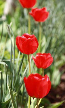 Free Spring Tulip Stock Image - 14386931