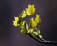 Free Young Maple Leaves Royalty Free Stock Photography - 14386977
