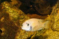 Free Yellow Cichlid In Aquarium Royalty Free Stock Photo - 14387055