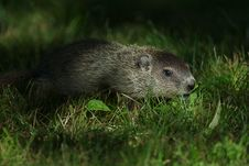 Free Groundhog Pup Royalty Free Stock Photography - 14387067