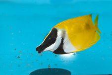 Free Foxface Lo In Aquarium Stock Photography - 14387072