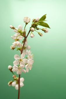 Free White Cherry Blossom Against Green Light Stock Photos - 14387093