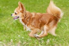 Free Running Flame-red Chihuahua Stock Photos - 14387133