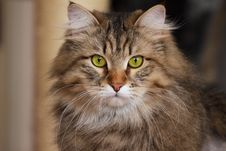 Free Siberian Cat With Green Eyes Royalty Free Stock Images - 14387239