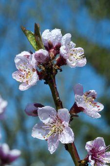 Free Peach Blossoms Stock Photo - 14387550