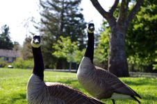 Canadian Goose Couple Stock Photography