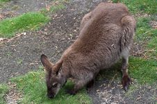 Free Wallaby Stock Photography - 14388742