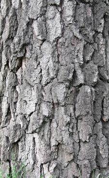 Free Old Birch Tree Bark Stock Image - 14388881