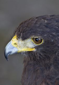 Free Hawk Stock Images - 14389174