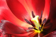 Blossoming Tulip Royalty Free Stock Image