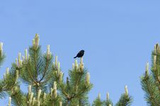Free Blackbird And Pine Royalty Free Stock Photos - 14389858