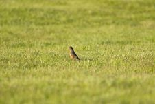 Free Robin In Field Royalty Free Stock Images - 14389869