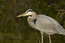 Free Great Blue Heron In The Water Stock Images - 14389954