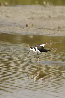 Free Black Necked Stilt In Water Stock Photography - 14389992
