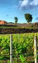 Free Vineyard Royalty Free Stock Photos - 14399778