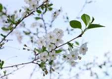 Free White Cherry Flowers Royalty Free Stock Photography - 14391017