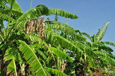Free Banana Leaf And Tree Royalty Free Stock Image - 14391216