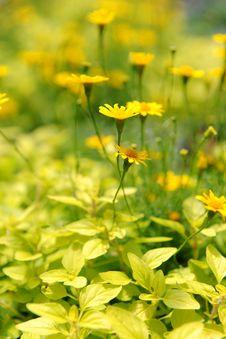 Free Yellow Daisies Royalty Free Stock Image - 14391296