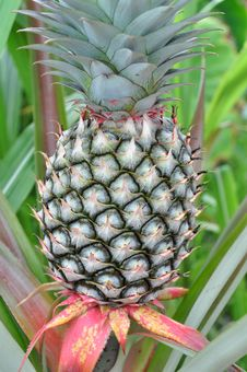 Free Pineapple Royalty Free Stock Image - 14391326