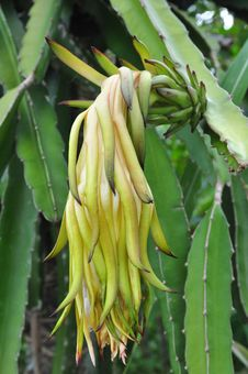 Free Dragon Fruit Flowers Stock Photography - 14391332