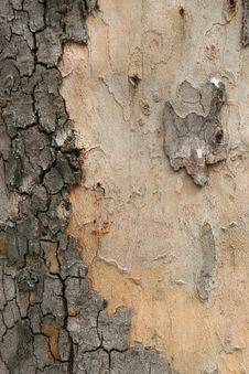 Platan Tree Bark Texture Stock Photos