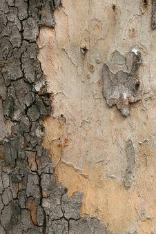 Free Platan Tree Bark Texture Stock Photos - 14392073