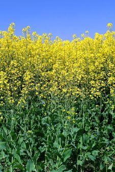 Free Yellow Canola Stock Images - 14392104