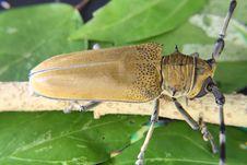 Free Cerambycidae Royalty Free Stock Photography - 14392947