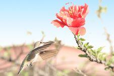 Hummingbird With Hawaiian Flower Royalty Free Stock Image