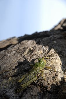 Free Grasshopper On Tree Stock Image - 14394381
