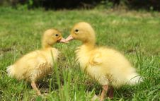 Free Small Ducks Stock Images - 14394554