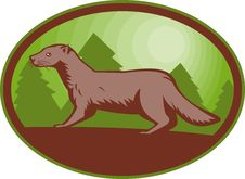 Free European Mink Side View Stock Images - 14394684