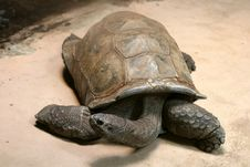 Free Turtle Royalty Free Stock Photo - 14394815