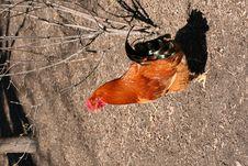 Free Hen Stock Photo - 14394850