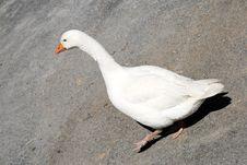 Free Goose Royalty Free Stock Photo - 14394895