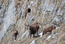 Free Mountain Goats Stock Image - 14394951