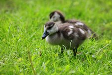Free Duckling Stock Photography - 14395062