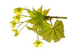 Free Maple Branch With Flowers On White Royalty Free Stock Images - 14395139