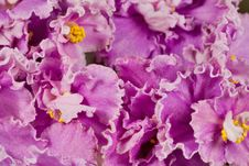Free Pink Violet Flowers Background Stock Photography - 14395142