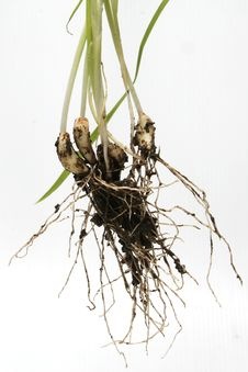 Free Garlic Root Stock Photography - 14395392