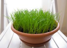 Free Green Grass In Pot. Royalty Free Stock Photography - 14396247