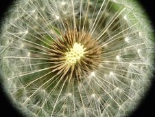 Free Dandelion Seed Closeup Stock Images - 14396494