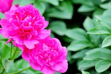 Free Peony Royalty Free Stock Images - 14396509