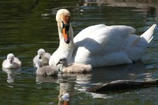 Free Mute Swan & Cygnets Royalty Free Stock Images - 14396749