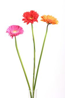 Free Gerberas Royalty Free Stock Images - 14396799