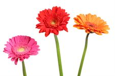 Free Gerberas Royalty Free Stock Photo - 14396845