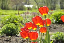 Free Tulips Royalty Free Stock Photography - 14396977