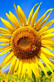 Free Sunflower On The Sky Stock Image - 14397371