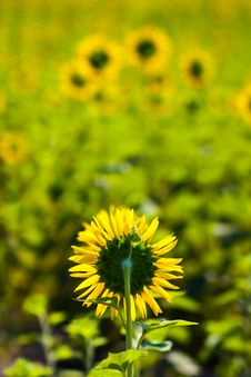 Free Backside Of Sunflower Royalty Free Stock Photo - 14397415
