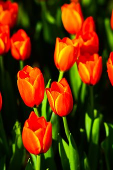 Free Tulip In Thailand Royalty Free Stock Photos - 14397898